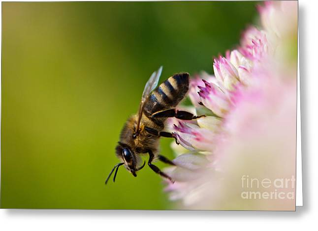 Bee Sitting On A Flower Greeting Card by John Wadleigh