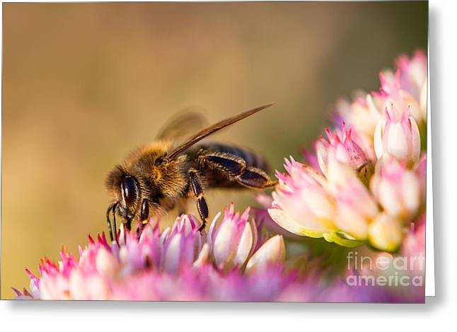 Bee Sitting On Flower Greeting Card by John Wadleigh