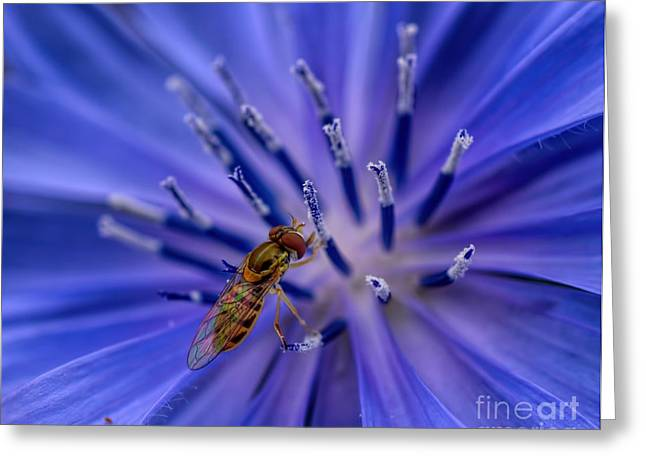 Survivor Art Greeting Cards - Bee - Wildflower - Chicory Greeting Card by Henry Kowalski