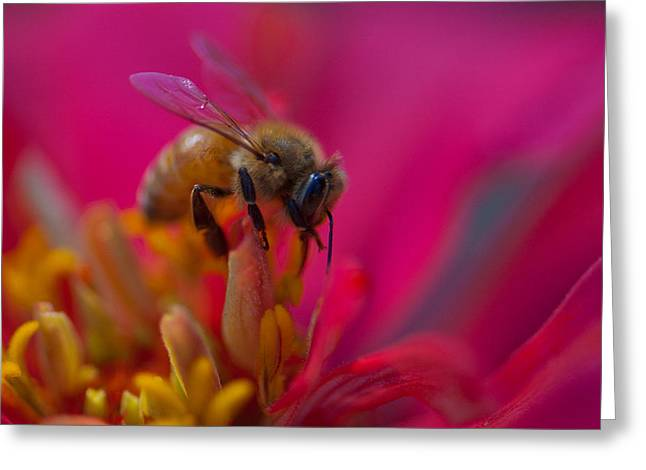 Indiana Flowers Greeting Cards - Bee within Flower Greeting Card by Sarah Crites