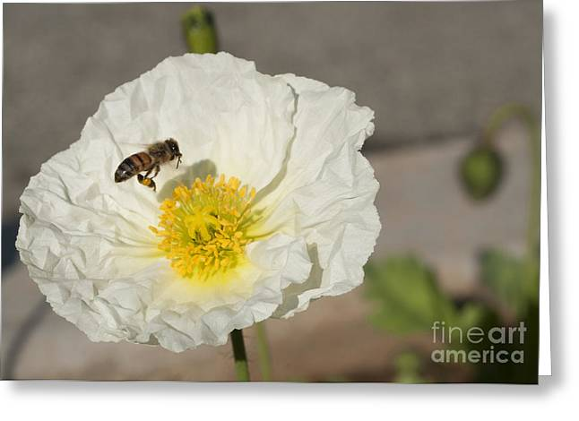 Flower Art Greeting Cards - Bee Working Greeting Card by Jose Valeriano
