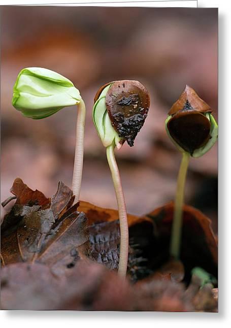 Beech (fagus Sylvatica) Tree Seedlings Greeting Card by Bob Gibbons