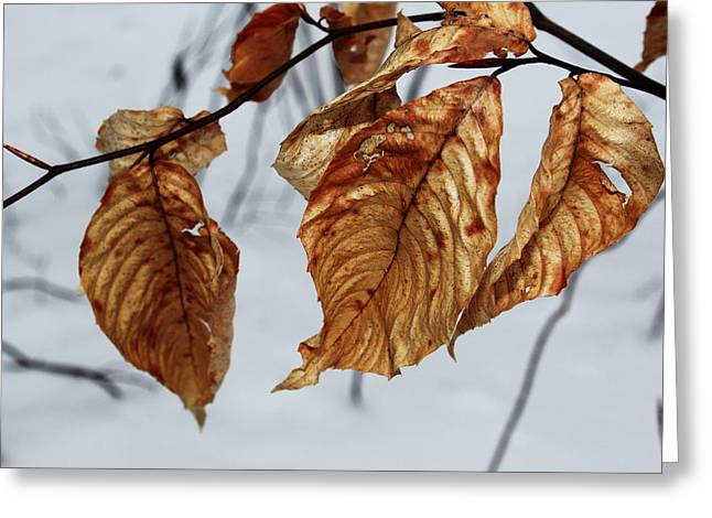 Tree Huggers Greeting Cards - Beech Leaves Greeting Card by Andrew Pacheco