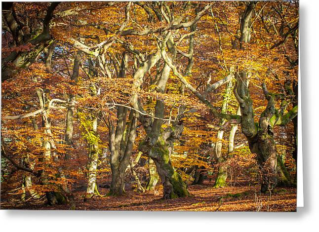Gnarly Greeting Cards - Beech tree group in autumn light Greeting Card by Martin Liebermann