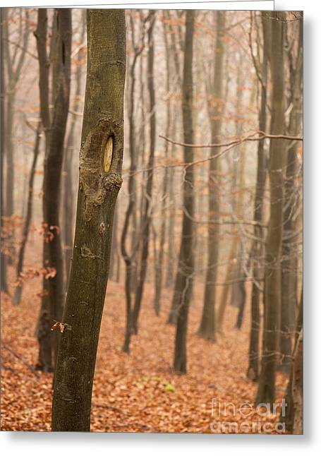 Beech Wood In Autumn Greeting Card by Anne Gilbert