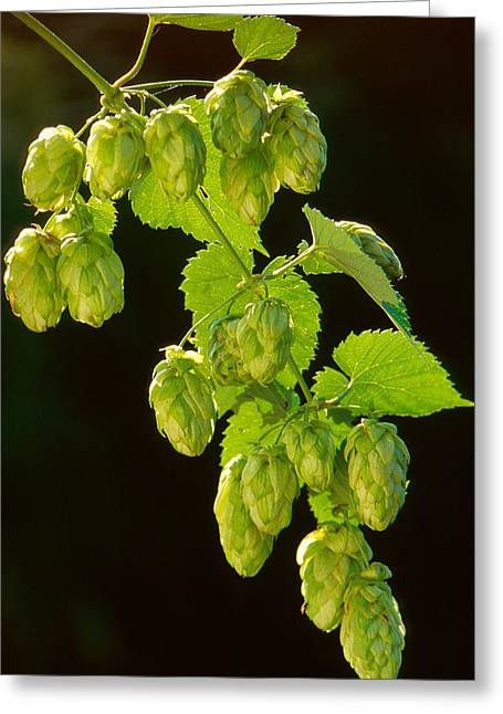 Part Of Greeting Cards - Beer Hops Greeting Card by Anonymous