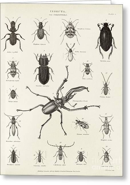Monoceros Greeting Cards - Beetles, 19th Century Greeting Card by Middle Temple Library