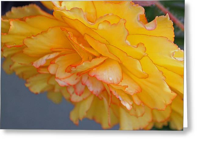 Begonia Garden Greeting Cards - Begonia Beauty Square Greeting Card by Suzanne Gaff