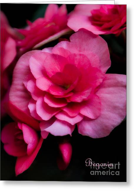 Flower Blossom Greeting Cards - Begonia Flowers Greeting Card by Kathleen K Parker