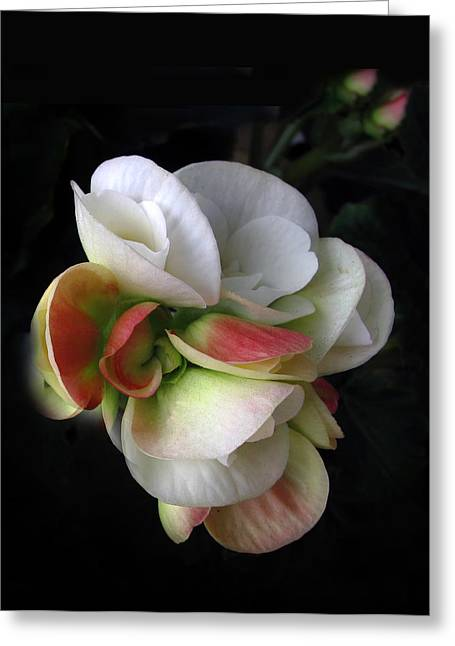 Begonias Greeting Cards - Begonia Petals Greeting Card by Jessica Jenney