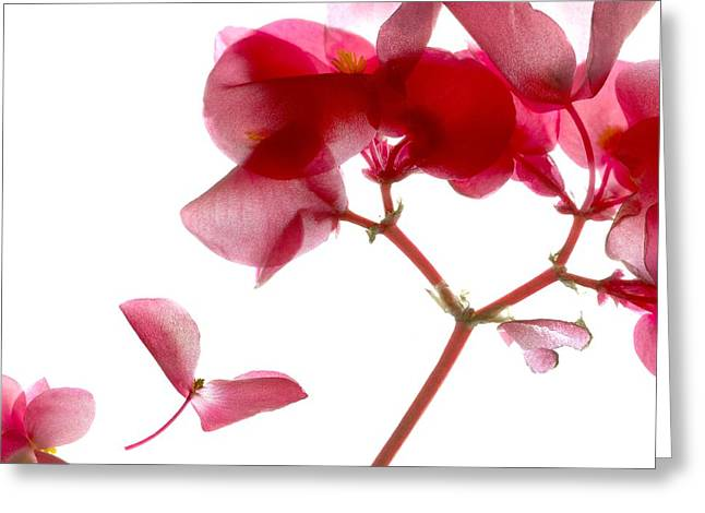 Pink Blossoms Greeting Cards - Begonia Pink VII Greeting Card by Julia McLemore