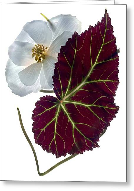 Begonias Greeting Cards - Begonia White Greeting Card by Julia McLemore