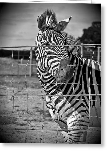 Wildlife Photograph Greeting Cards - Behind Bars Greeting Card by Dan Sproul