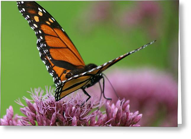 Flower Photography Greeting Cards - Behind Monarch Greeting Card by Neal  Eslinger