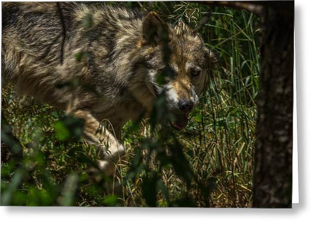 Wolf Portrait Greeting Cards - Being Stalked Greeting Card by Ernie Echols