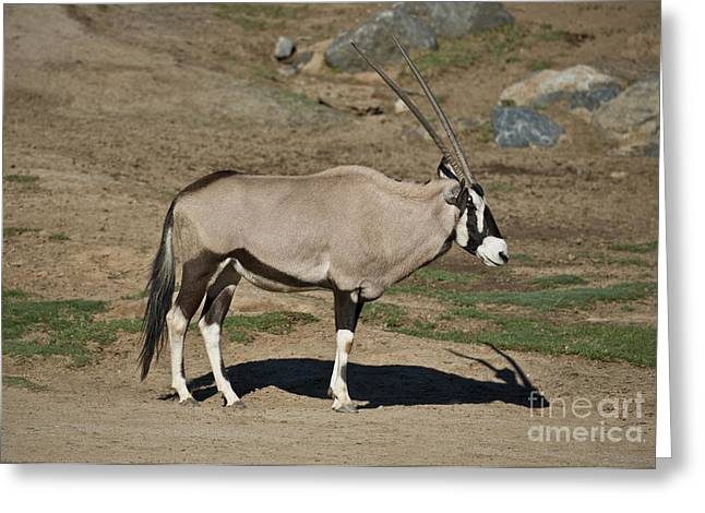 Profile Shadow Greeting Cards - Beisa Oryx Greeting Card by Anthony Mercieca