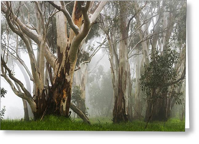 Gumtree Greeting Cards - Feeling Misty Greeting Card by Andrew Dickman