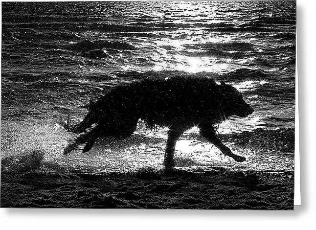 Shepherds Greeting Cards - Belgian Shepherd Groenendael running along sea shore Greeting Card by Wolf Shadow  Photography