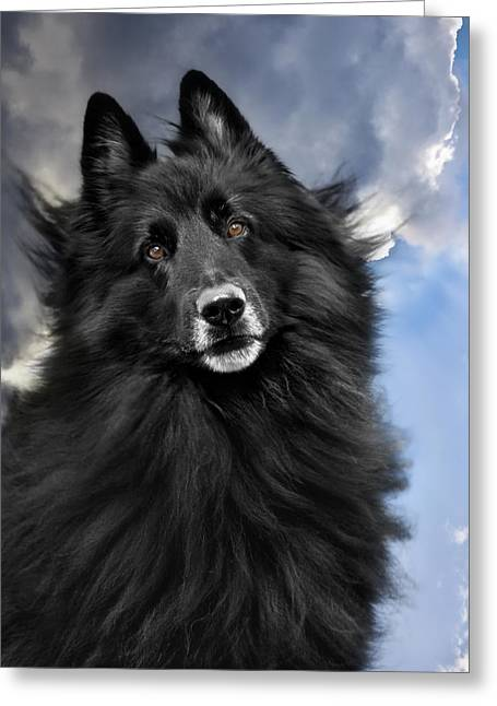 Shepherds Greeting Cards - Belgian Shepherd Groenendael  Greeting Card by Wolf Shadow  Photography