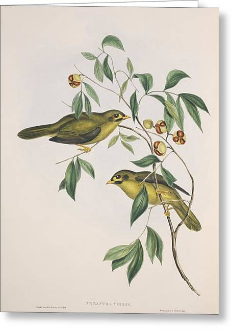 John Gould Greeting Cards - Bell miners, 19th century artwork Greeting Card by Science Photo Library