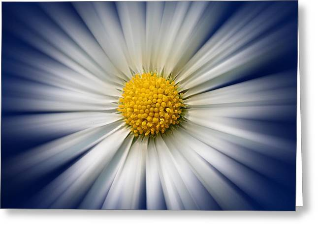 Bellis Greeting Cards - Bellis Rays Greeting Card by John Edwards