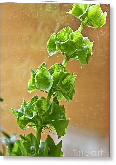 Bells Of Ireland Greeting Cards - Bells of Ireland Plant or Molucca balmis Shellflower Greeting Card by Valerie Garner