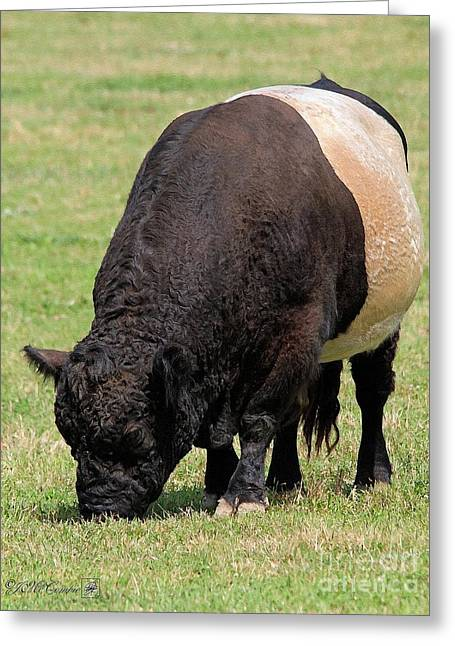 Oreo Greeting Cards - Belted Galloway Bull Greeting Card by J McCombie
