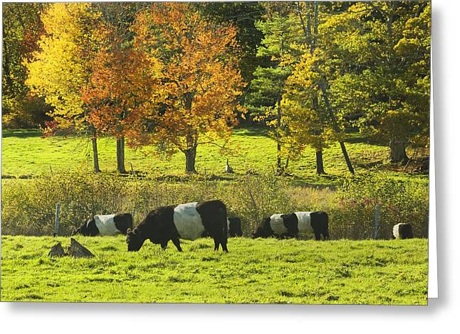Pasture Scenes Greeting Cards - Belted Galloway Cows Grazing On Grass In Rockport Farm Fall Maine Photograph Greeting Card by Keith Webber Jr