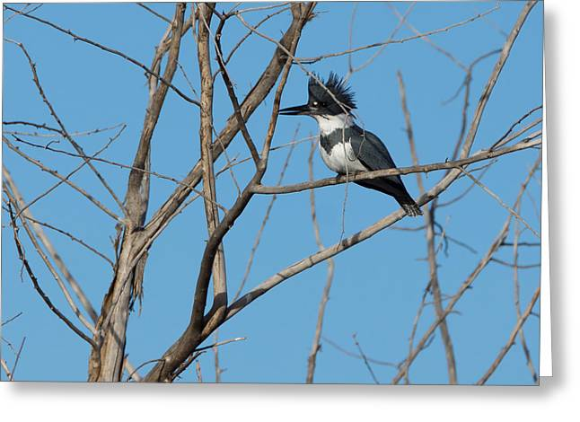 Belted Kingfisher 4 Greeting Card by Ernie Echols