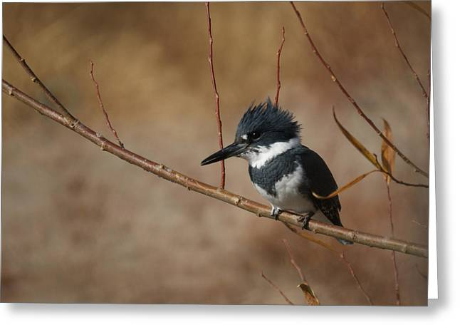 Belted Greeting Cards - Belted Kingfisher Greeting Card by Ernie Echols