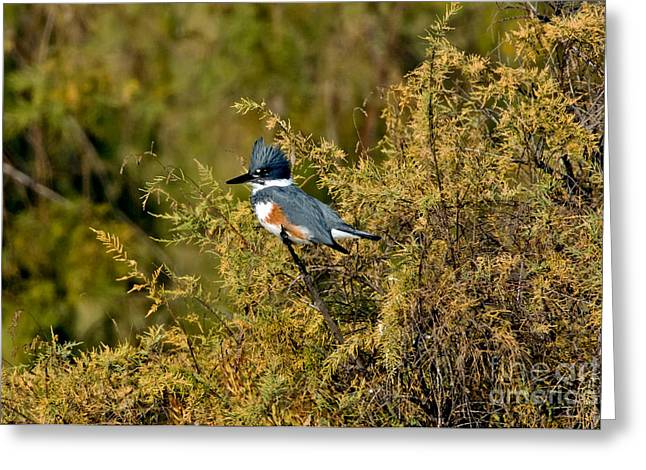 Belted Kingfisher Female Greeting Card by Anthony Mercieca