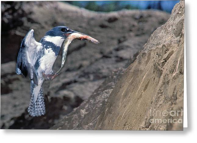 In Belt Greeting Cards - Belted Kingfisher With Prey Greeting Card by Anthony Mercieca