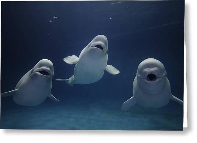 Cetaceans Greeting Cards - Beluga Whale Trio Greeting Card by Hiroya Minakuchi