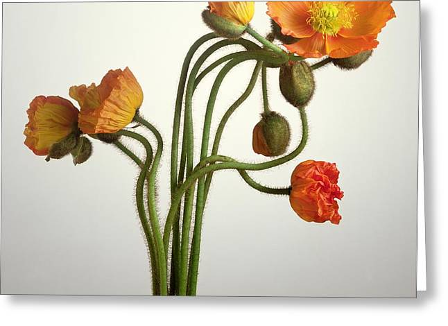 Bendy Poppies Greeting Card by Norman Hollands
