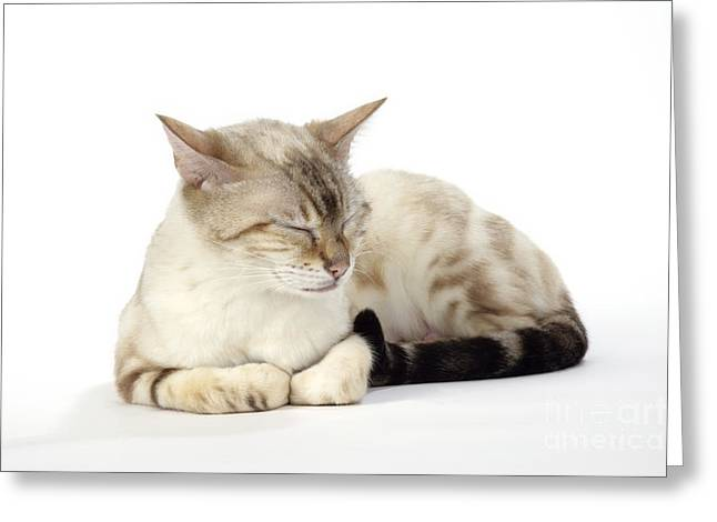 Cats Eye Marbles Greeting Cards - Bengal Cat, Asleep Greeting Card by John Daniels