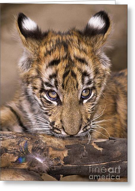 Dave Greeting Cards - Bengal Tiger Cub and Peacock Feather Endangered Species Wildlife Rescue Greeting Card by Dave Welling