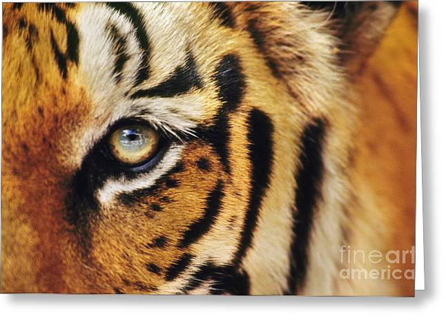 Animal Body Part Greeting Cards - Bengal tiger face Greeting Card by Frans Lanting MINT Images
