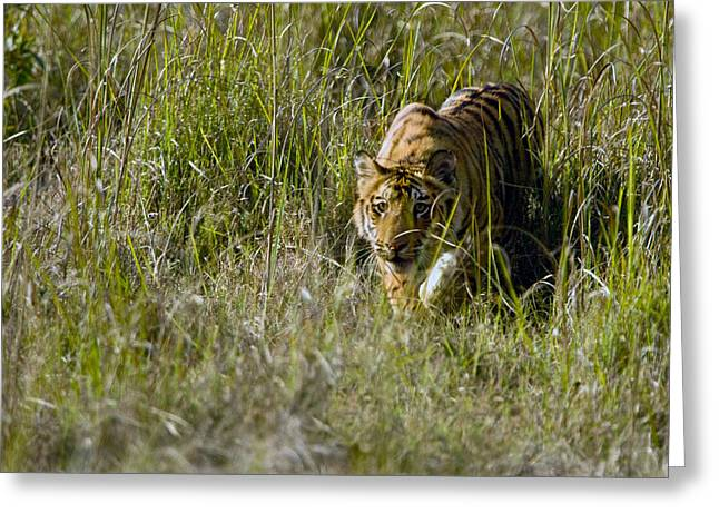 Tigris Greeting Cards - Bengal Tiger Panthera Tigris Tigris Cub Greeting Card by Panoramic Images