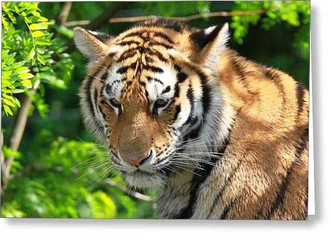 Large Cats Greeting Cards - Bengal Tiger Portrait Greeting Card by Dan Sproul