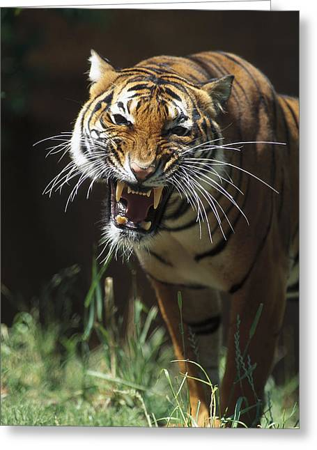 Growling Greeting Cards - Bengal Tiger Snarling Greeting Card by San Diego Zoo