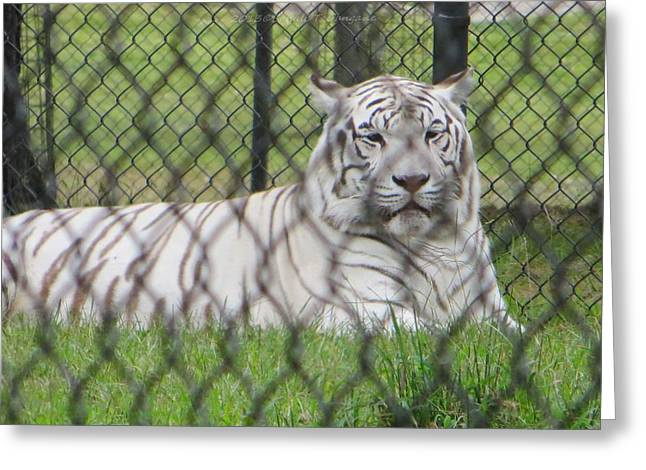 Love The Animal Greeting Cards - Bengal White Tiger Greeting Card by Sonali Gangane