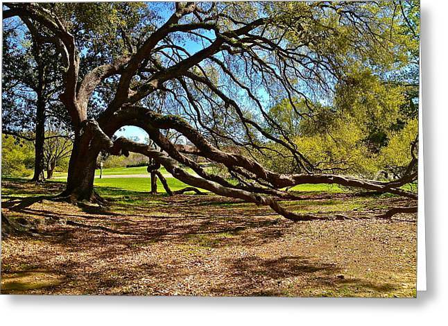 Gnarly Greeting Cards - Bent Live Oak in City Park New Orleans Greeting Card by Swamp Hare Photography