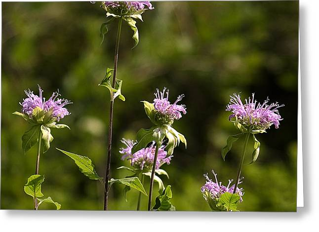 Bergamot Greeting Card by Steven Ralser