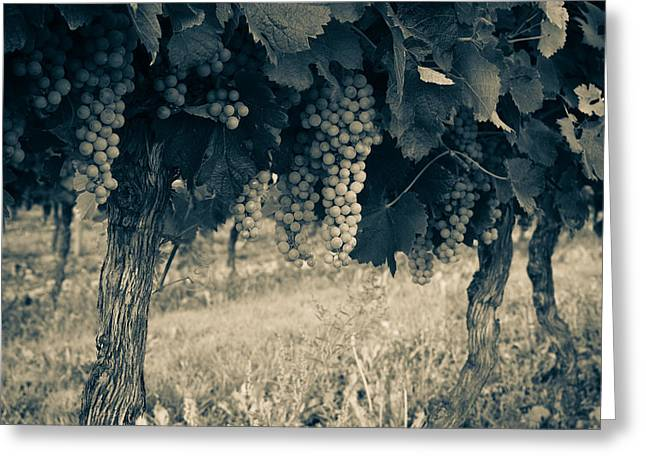 Grapevine Photographs Greeting Cards - Bergerac Grapes - Toned Greeting Card by Nomad Art And  Design