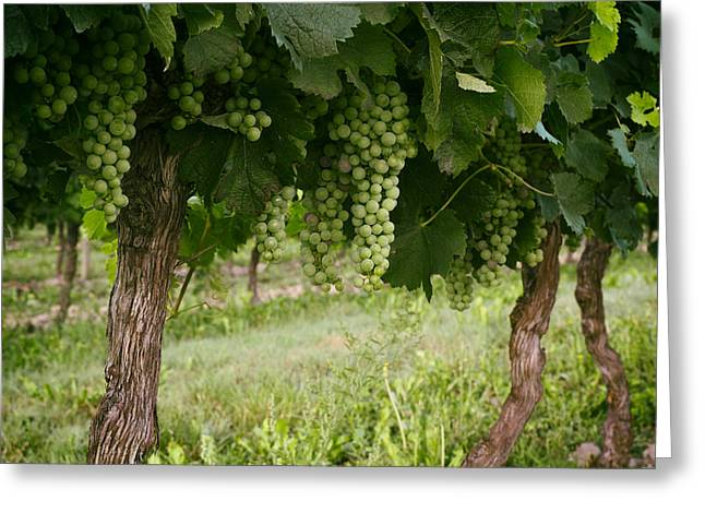 Country Photographs Greeting Cards - Bergerac Grapes Greeting Card by Nomad Art And  Design