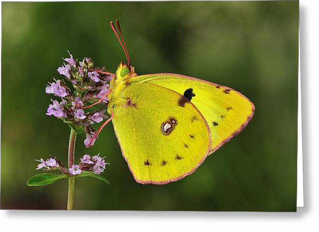 Thomas Marent Greeting Cards - Bergers Clouded Yellow Butterfly Greeting Card by Thomas Marent