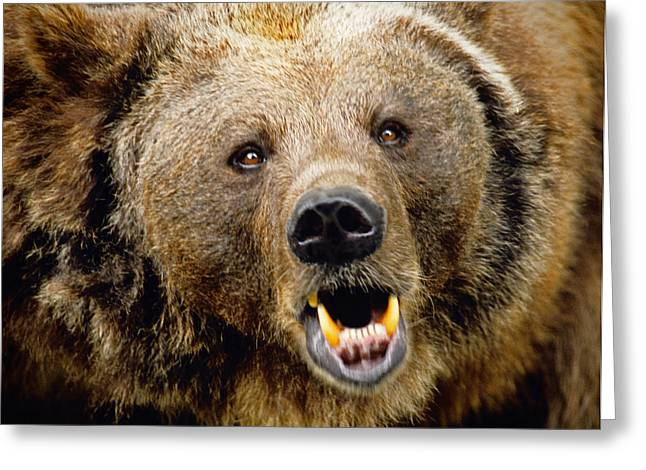 Growling Greeting Cards - Bern bear Greeting Card by Dennis Cox WorldViews