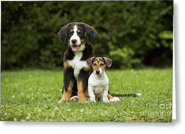 Puppy Sitting Greeting Cards - Bernese Mountain & Jack Russell Puppies Greeting Card by Jean-Michel Labat