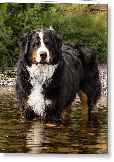 Best Friend Greeting Cards - Bernese Mountain Dog Greeting Card by Crystal Fudge