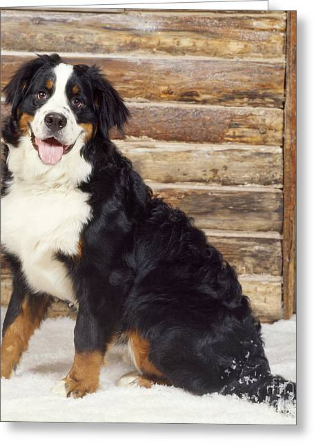 Bernese Mountain Dog Greeting Card by John Daniels